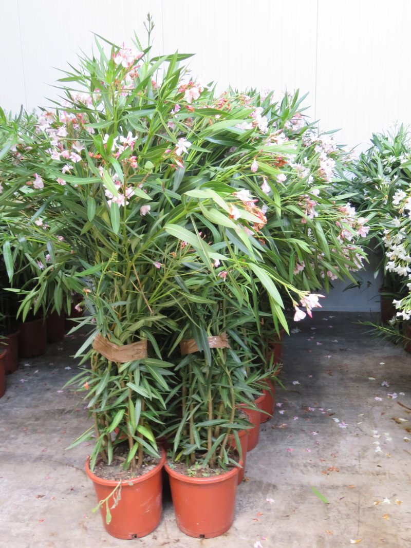 Nerium Oleander, pot 10L, total height 110-140cm
