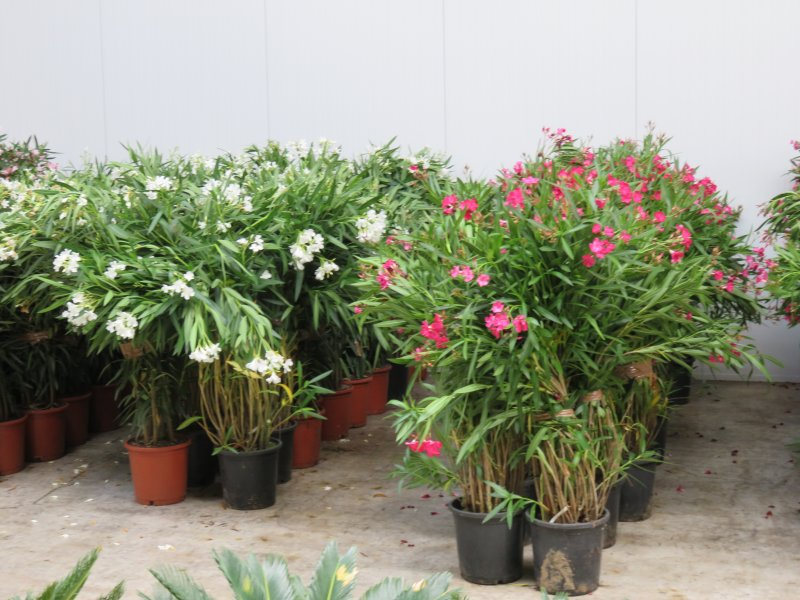 Nerium Oleander, pot 10L, total height 110-140cm.