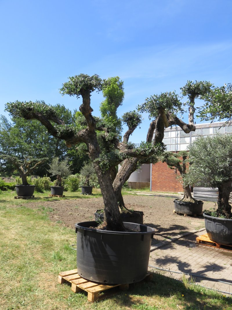 Olea europaea plato, pot 600L, trunk cir. 100/120cm-