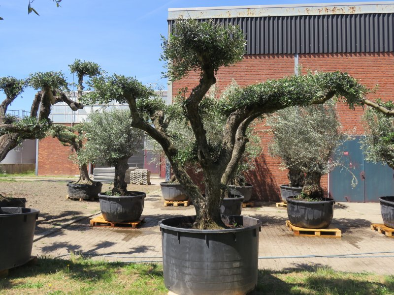 Olea europaea plato, pot 600L, trunk cir. 100/120cm